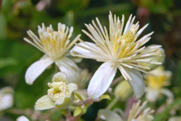 Honeysuckle: il fiore per chi guarda al passato