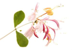 Clematis, il Fiore che aiuta ad essere più presenti